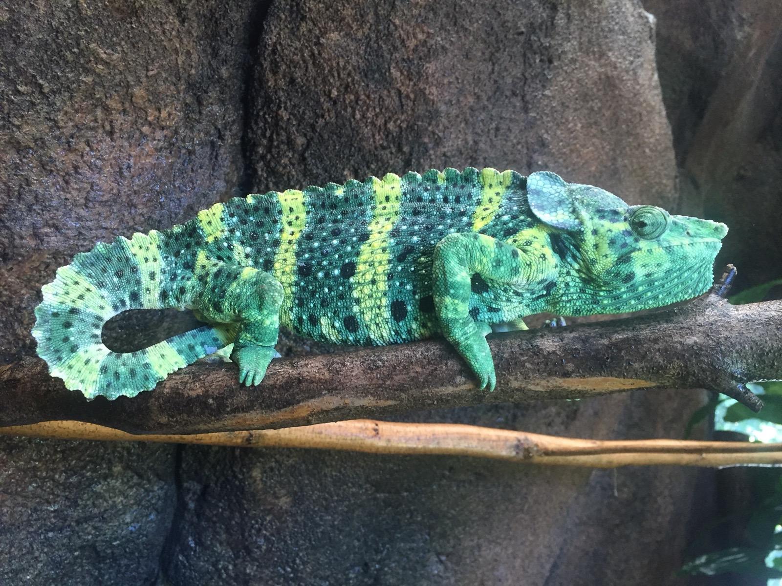 Meller's chameleon