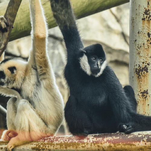 White-cheeked gibbons sitting while holding onto branch