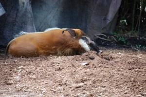 Red river hog sleeping on ground