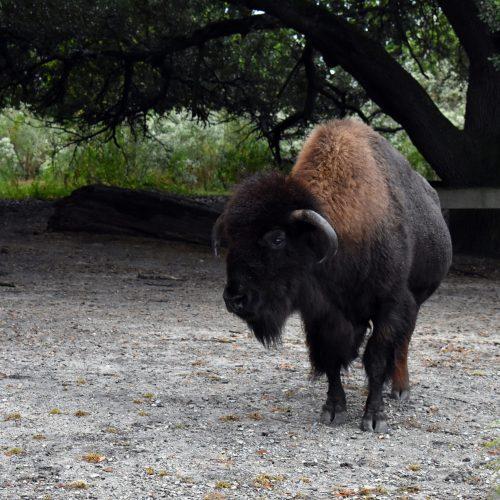 bison standing