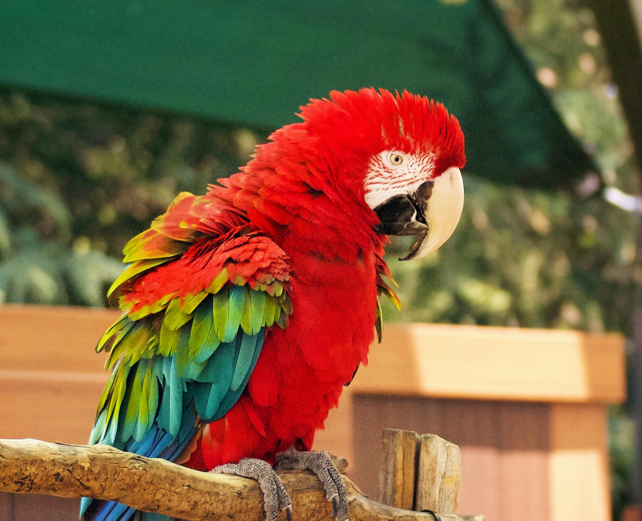 Green Winged Macaw at the Virignia Zoo