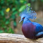 Victoria Crowned Pigeon at the Virginia Zoo