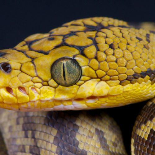 Timor python