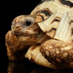 Leopard tortoise at the Virginia Zoo