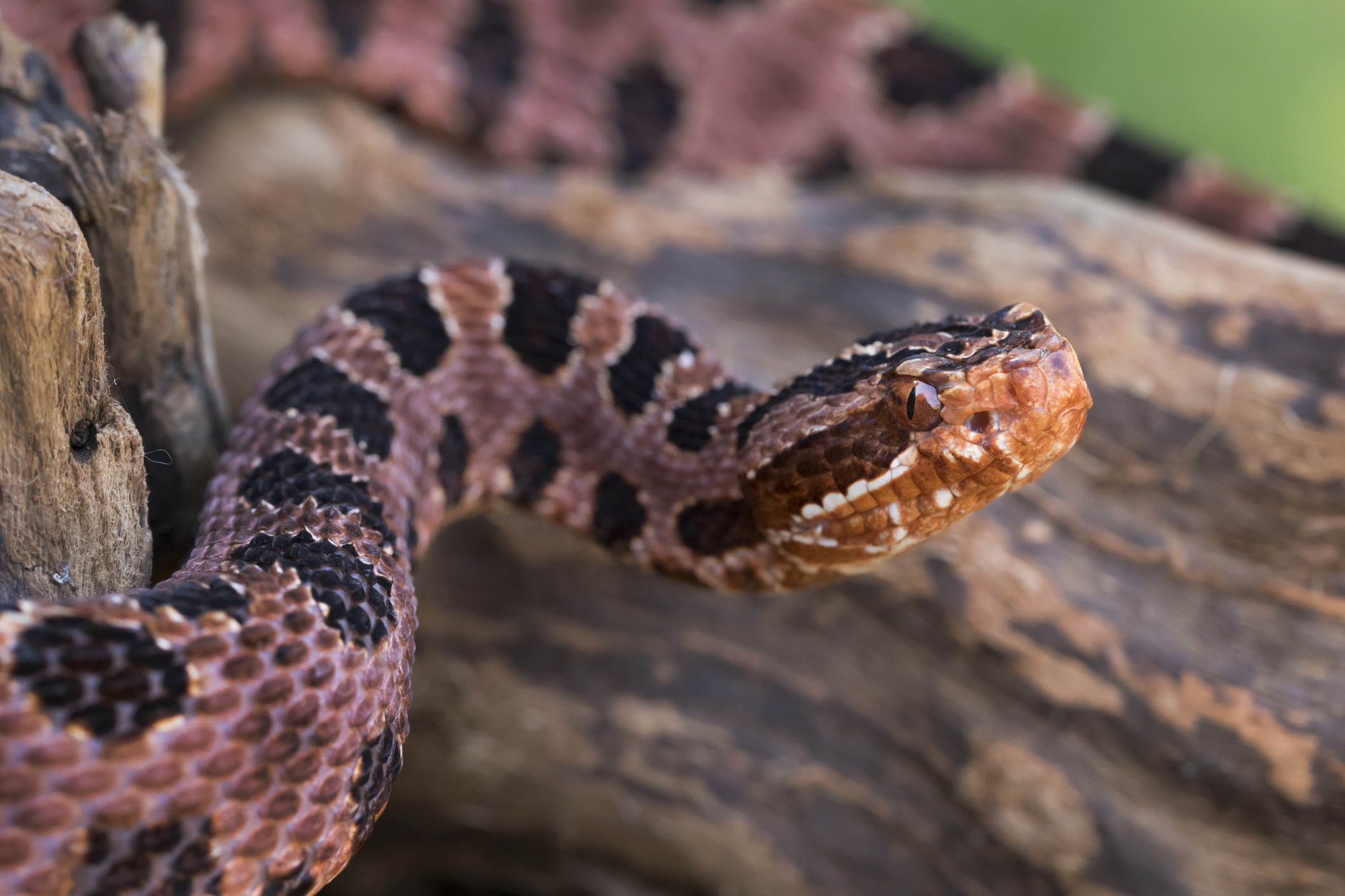 Red Pygmy Rattlesnake at the Virginia Zoo