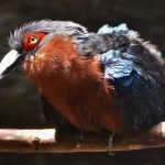 Chestnut-breasted Malkoha at the Virginia Zoo