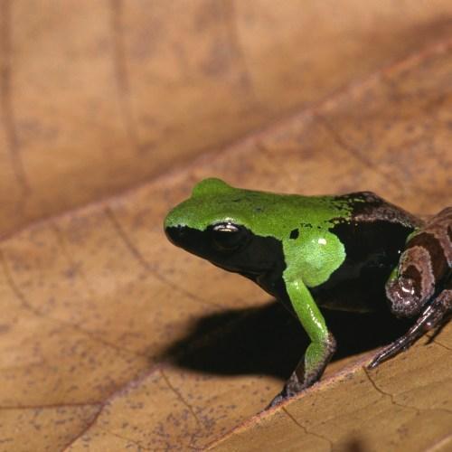 Green Mantella at the Virginia Zoo.