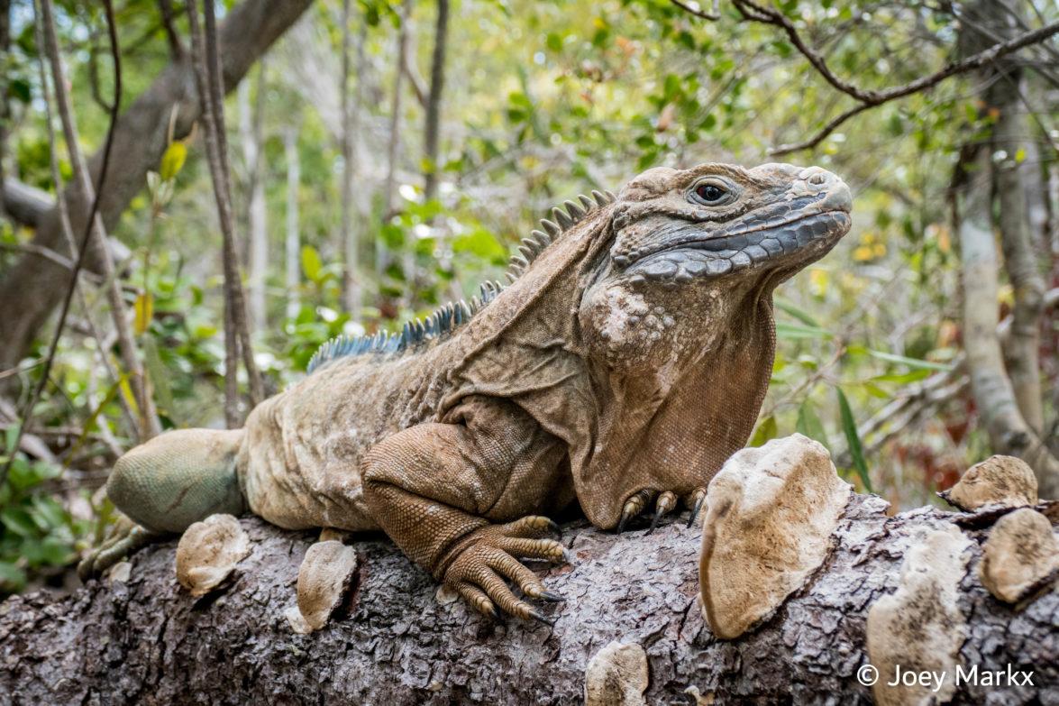Jamaican Iguana thriving at the Virginia Zoo