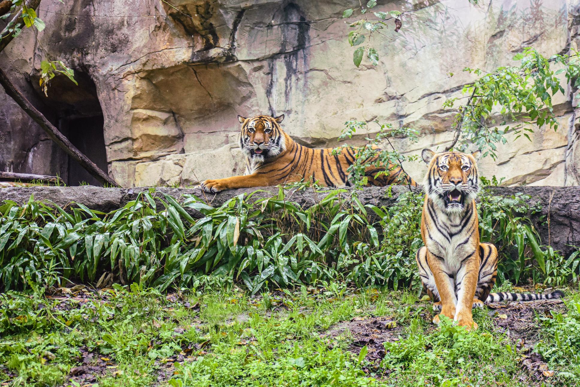 Malayan Tiger at the Virginia Zoo