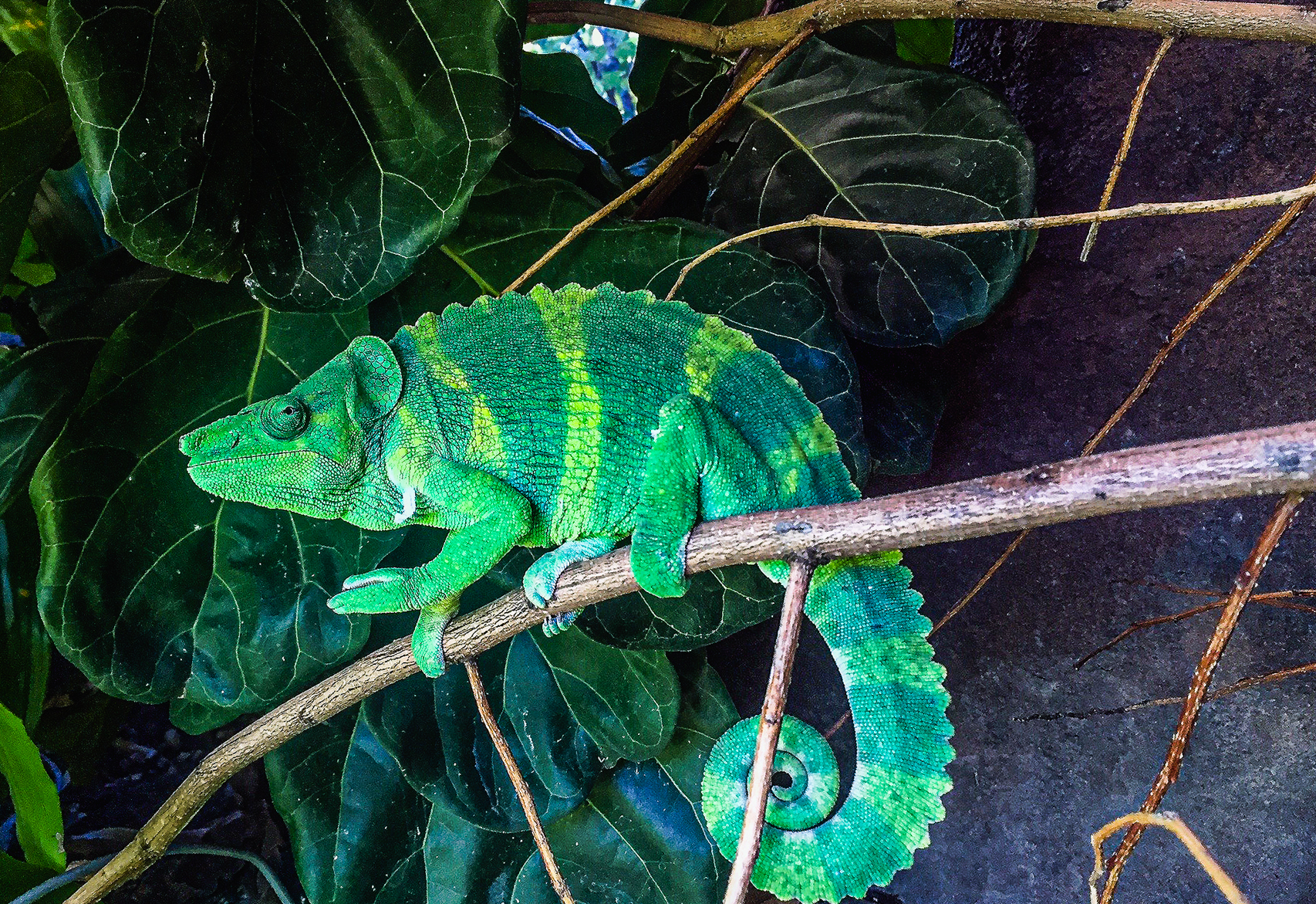 A Meller's Chameleon hanging out at the Virginia Zoo