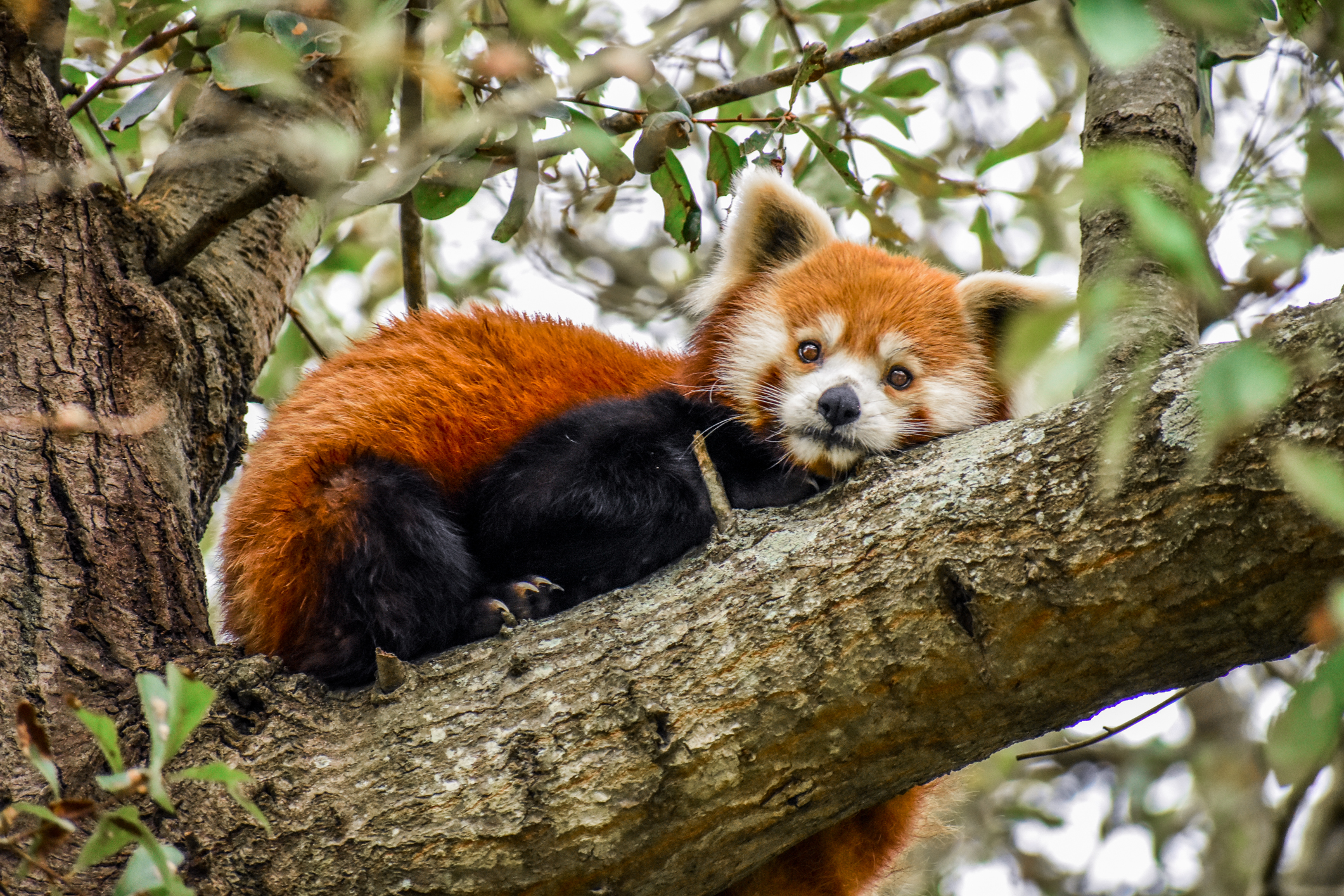 Red Panda hanging out at the Virginia Zoo