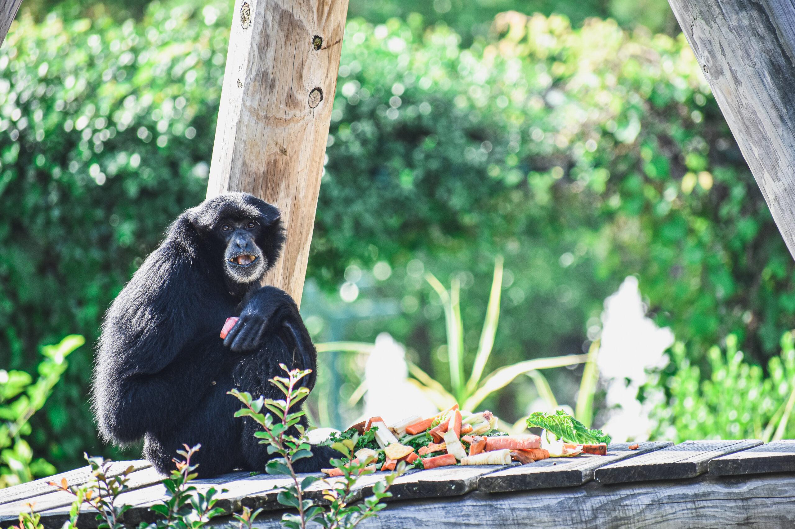 A Siamang at the Virginia Zoo