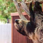Two Toed Sloth hanging out at the Virginia Zoo