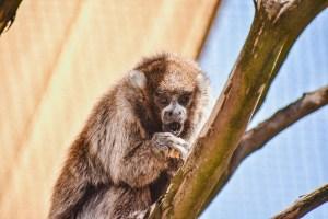Male titi monkey on branch