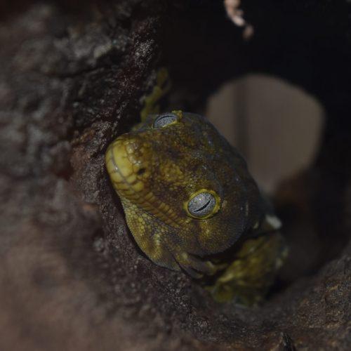 gecko in log