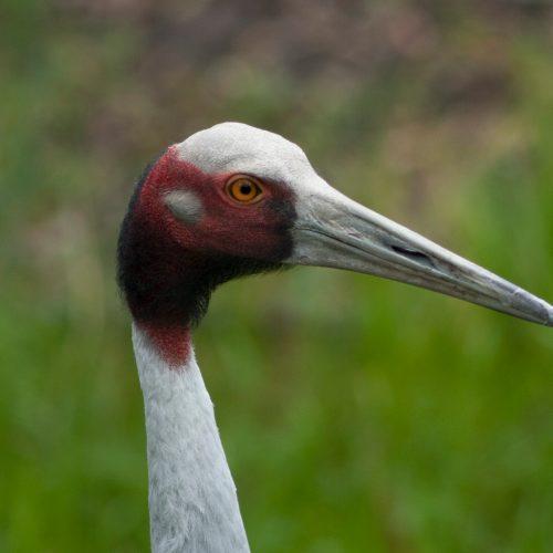 sarus crane with grass background