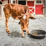 Zebu Cattle on the Zoo Farm