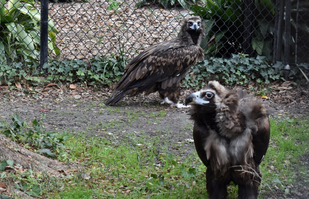 two cinereous vultures stand near each other
