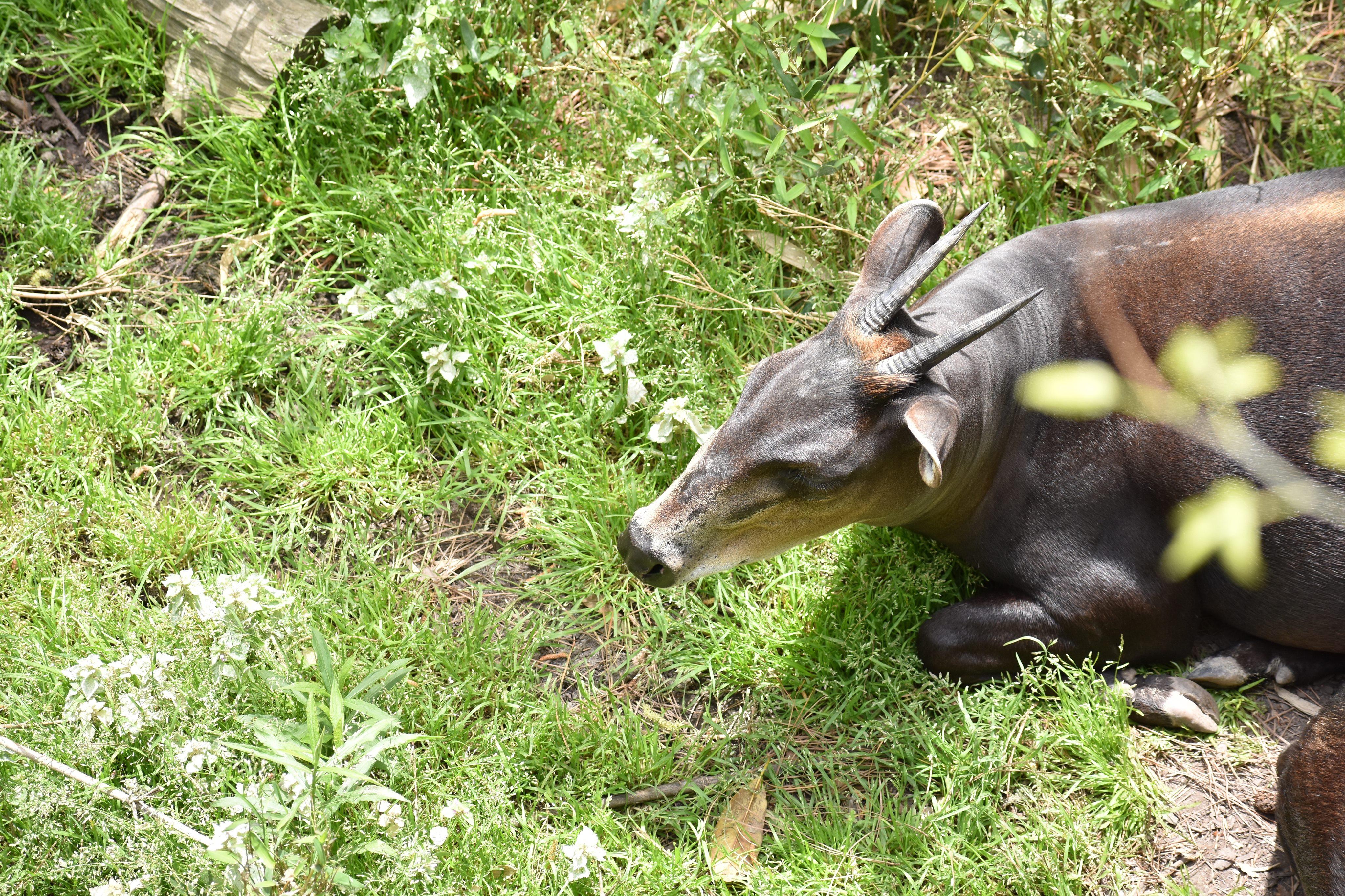 offset duiker laying in grass