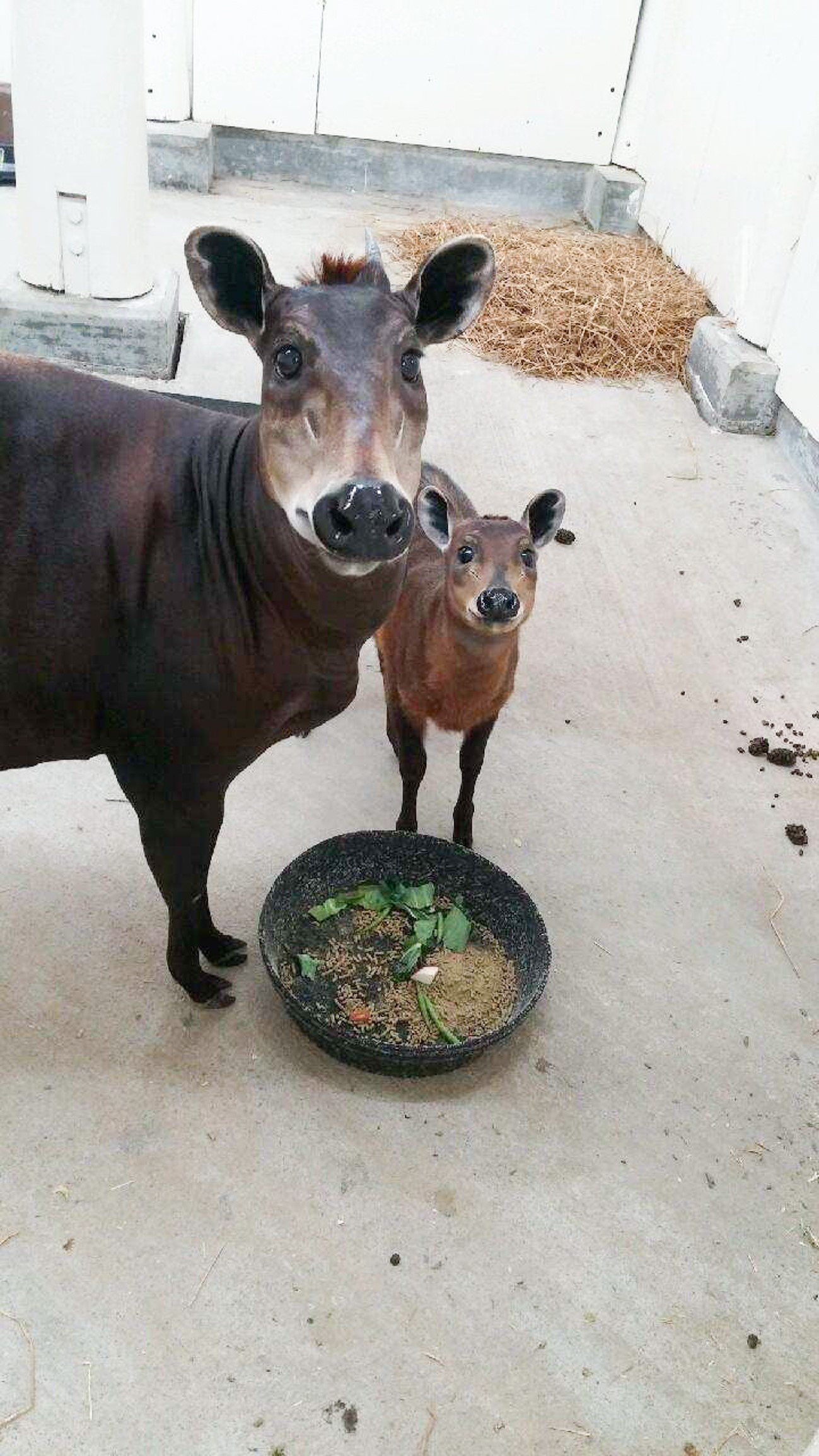 mother duiker and calf eating