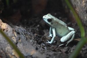 mint phase golden dart frog sitting