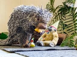 Gray porcupine holding food