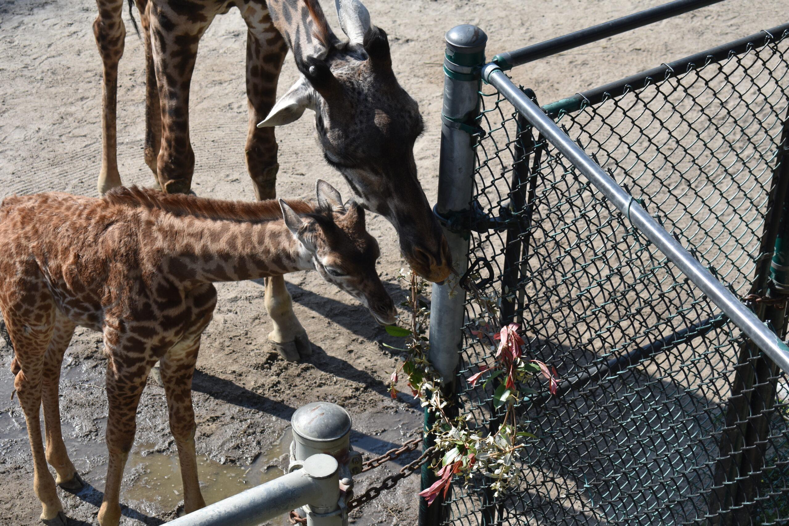 giraffes eating from a wreath