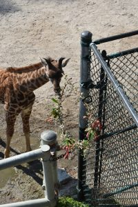 giraffe eats hanging wreath