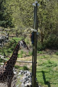 adult giraffe eats from elevated feeder