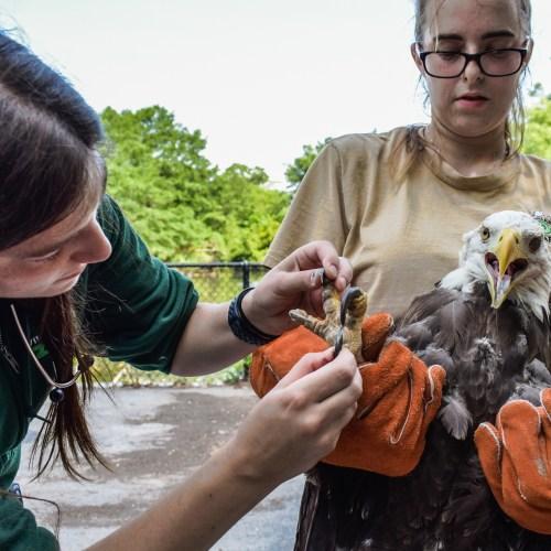 Zoo Vet inspects eagle's talons