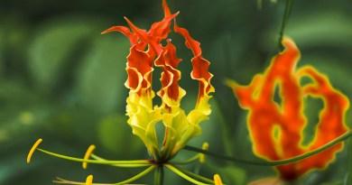 kanthal flower tamil virgo news