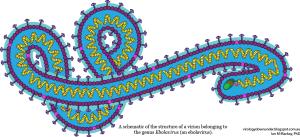 A schematic of a Ebola virus strain belonging to the genus Ebolavirus (an ebolavirus)