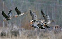 Tundrahanhia (Anser albifrons), Gr. White-Fronted Geese (c) R. Lammin-Soila