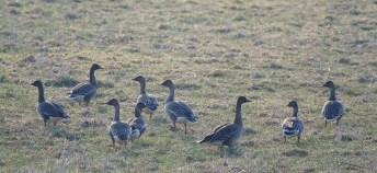 Metsähanhia (A.f.fabalis), Bean Goose - (c) R. Lammin-Soila