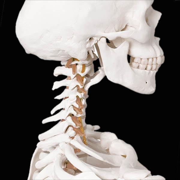human_spine_web