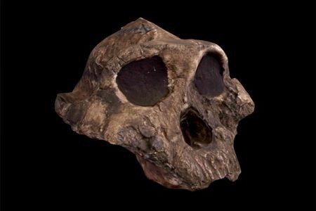 Paranthropus boisei_model2