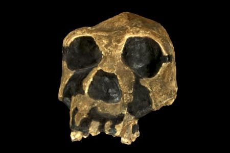homo erectus_model2