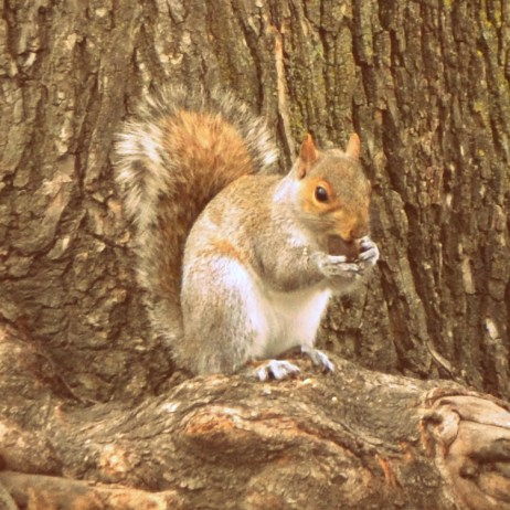 A sweet little squirrel munching an acorn in Central Park. Sadly, as soon as he heard the snap of my shutter, he dropped his snack and scampered up the tree trunk.