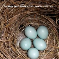 """MY EGGS AND I."" ... MRS. BLUEBIRD PROTECTS HER CLUTCH."