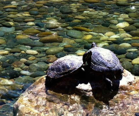 turtles in vmware pond