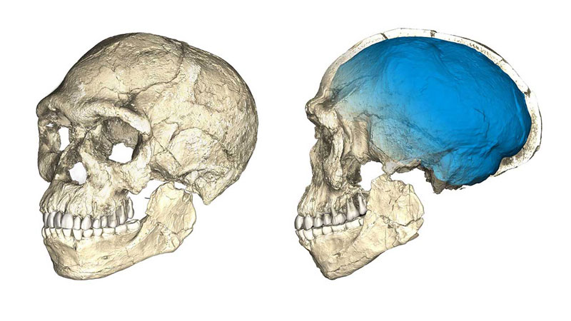 An image shows a computer reconstruction of a fossil human skull.