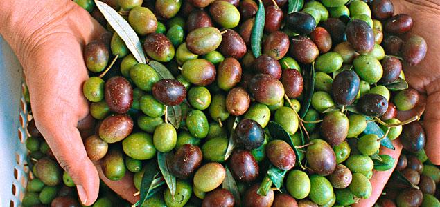 Bahia passa Pernambuco e colhe primeira safra de azeitonas do Nordeste