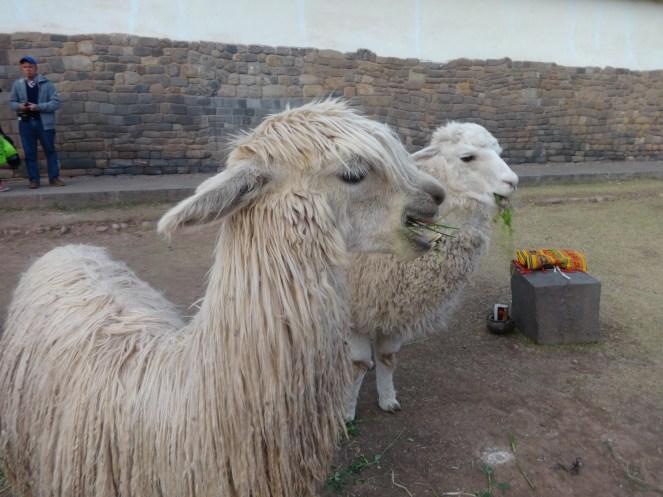 Alpacas_visaparaviajar.com