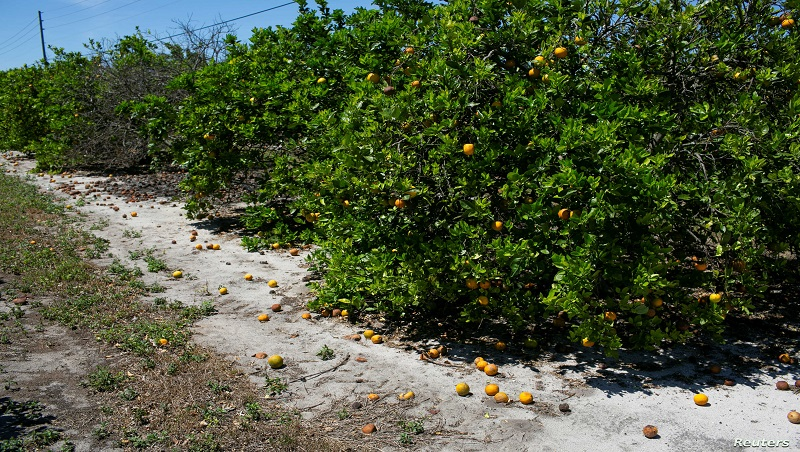 Ripe and rotten oranges due to the lack of workers for harvesting are seen at a farm in Lake Wales, Florida, April 1, 2020.