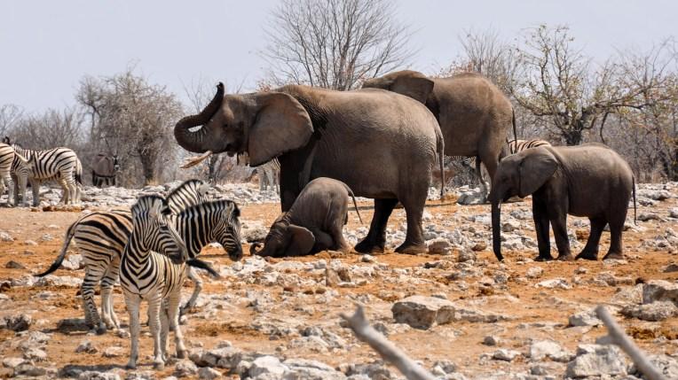 Elefanten (lizenzfrei)
