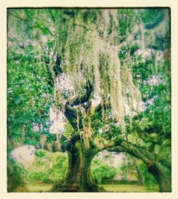 Damballah all natural soap icon. Tree of Life oak tree, Audubon park.