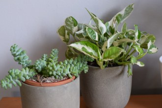 Burro's tail, pearl and jade pothos