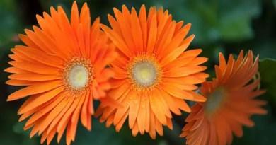 30 flores alaranjadas para esquentar seu coração thespruce 24 Vision Art NEWS