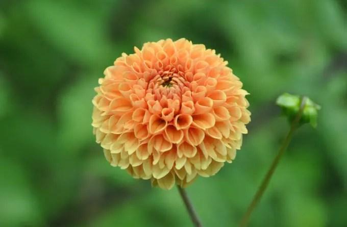 dalia flores jardim dicas cultivo pxfuel.com 03 Vision Art NEWS