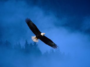 flight_of_freedom_bald_eagle-normal